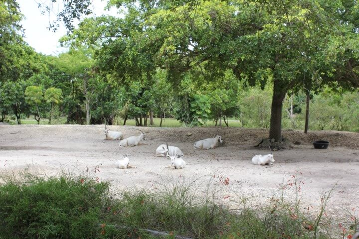 Antelope in the Zoo Miami
