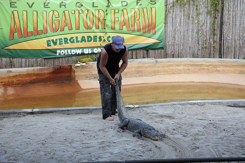 Showman pulling the Alligator